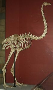 320px-Dinornis_maximus,_Natural_History_Museum_(PV_A_608).jpg